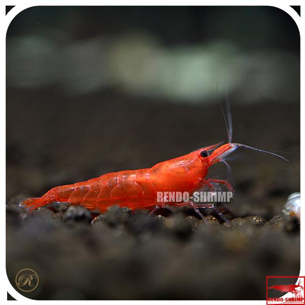 red sakura garnele a g nstig online kaufen rendo shrimp shop. Black Bedroom Furniture Sets. Home Design Ideas