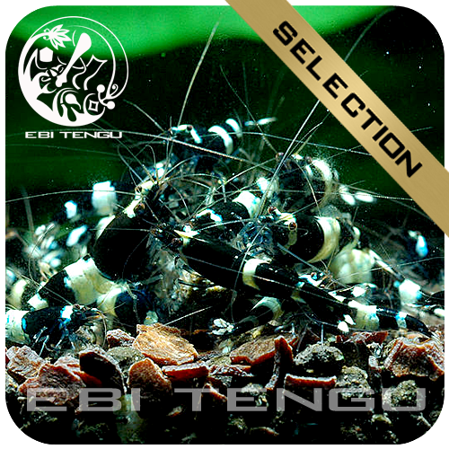 EBITENGU Taiwan Bee Black