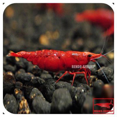 red sakura painted red garnele ss online kaufen rendo shrimp shop. Black Bedroom Furniture Sets. Home Design Ideas