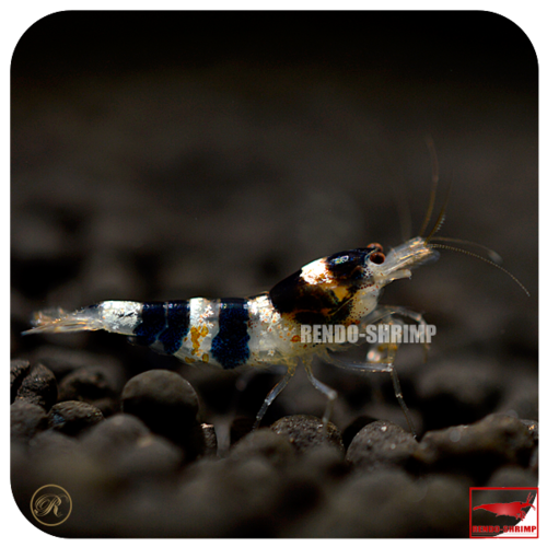 Princess Bee Garnele