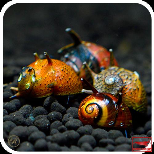 schnecken f rs aquarium g nstig online kaufen rendo shrimp shop. Black Bedroom Furniture Sets. Home Design Ideas
