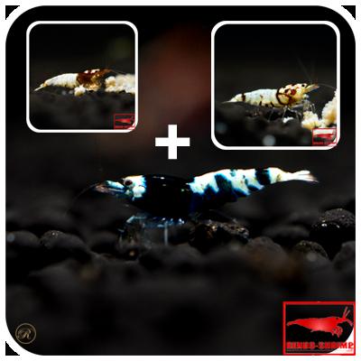 taiwan bee garnelen sicher und g nstig online kaufen rendo shrimp. Black Bedroom Furniture Sets. Home Design Ideas