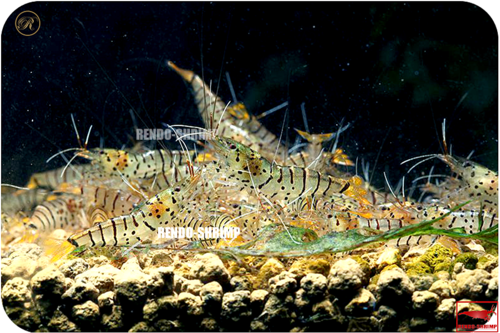 Galaxy Tigergarnele