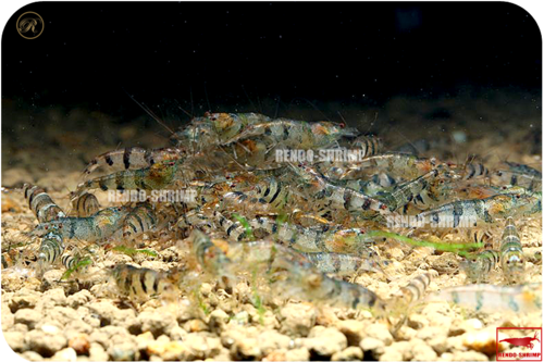 New China Bumblebee