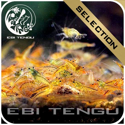 5x eine 10er Gruppe Ebi Tengu Tangarine Tiger