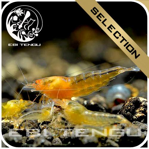 2x eine 5er Gruppe Ebi Tengu Aurum Shrimp