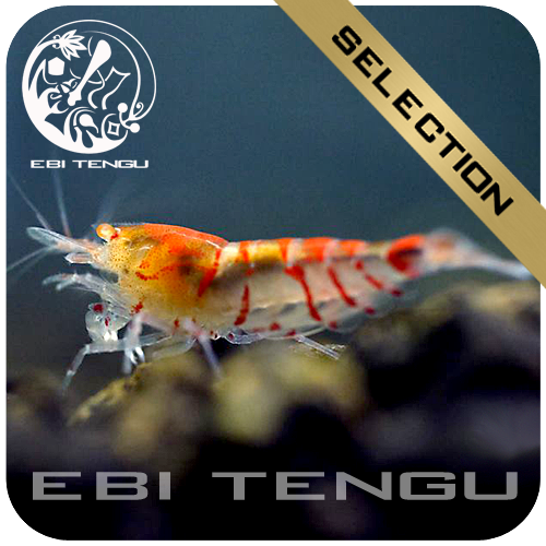 2x eine 5er Gruppe Ebi Tengu Red Tiger Golden Eyes