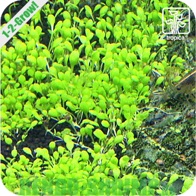 Elatine Hydropiper In Vitro Online Kaufen Rendo Shrimp Shop