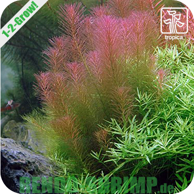 Rotala wallichii In Vitro