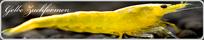 Gelbe Neocaridina Zwerggarnelen