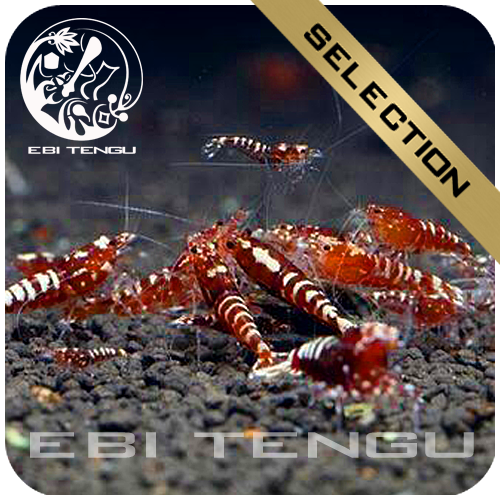 EBITENGU Taiwan Bee Red Galaxy Pinto