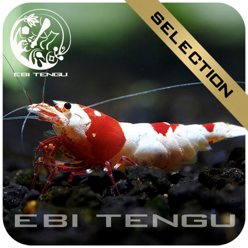 10x EBITENGU Red Bee PRL 'SS'
