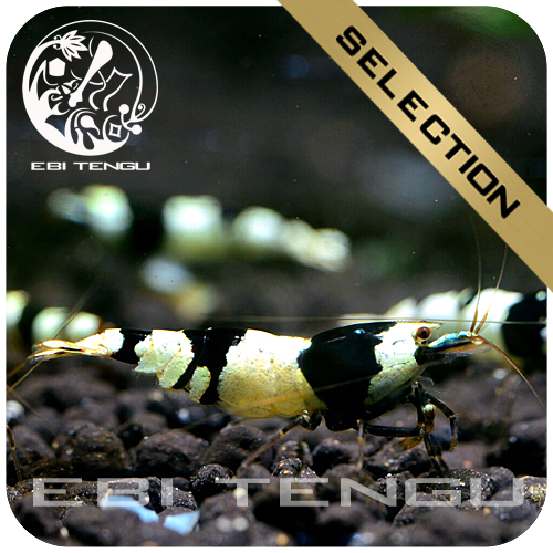EBITENGU Black Bee PBL 'S'