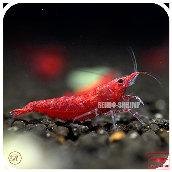 20x red sakura garnele grad a online kaufen rendo shrimp shop. Black Bedroom Furniture Sets. Home Design Ideas