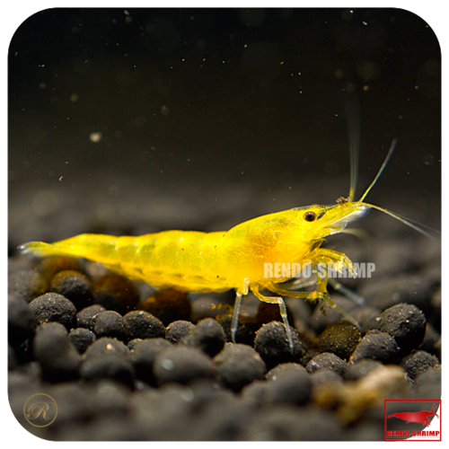 10x Yellow Fire Garnele