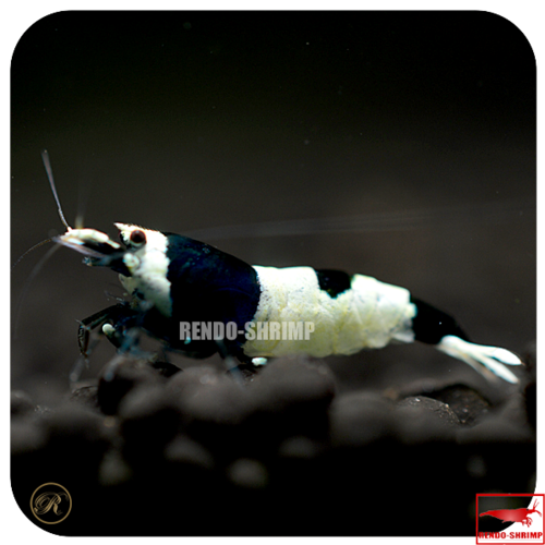 Taiwan Bee 'Black Hinomaru'