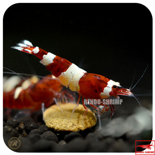 Taiwan Bee Red gemischt
