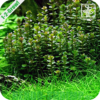 Rotala 'Bonsai' In Vitro
