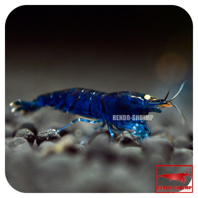 10x Blaue Tigergarnele 'high-blue'