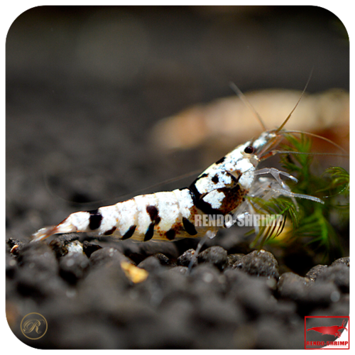 Black Spotted Head Fancy Tiger Garnele