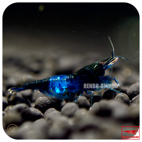 10x Blue Diamond Rili Garnelen