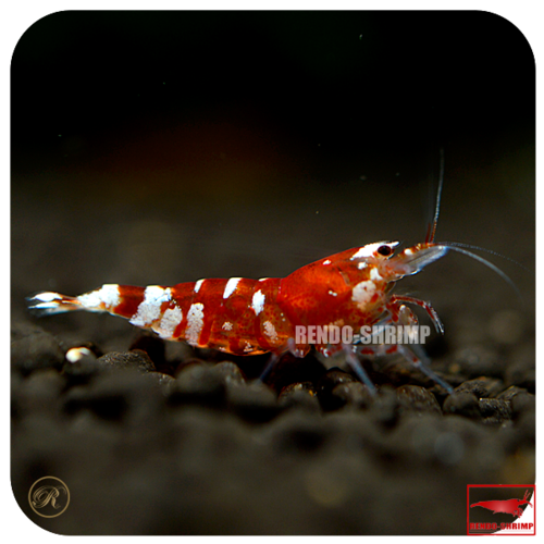 Tigerbienengarnele Red (TiBee)