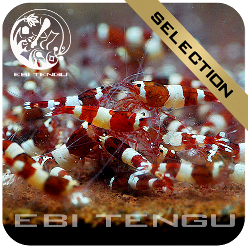 EBITENGU Taiwan Bee Red