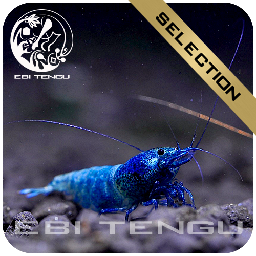 EBITENGU Taiwan Bee Deep Blue Bolt