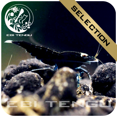 EBITENGU Taiwan Bee Garnele 'Full Black'
