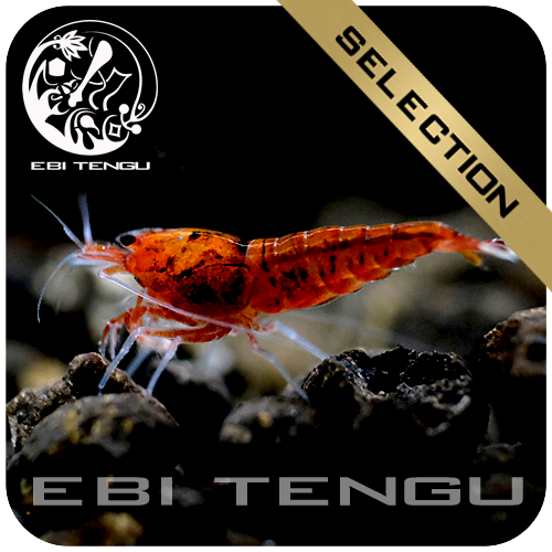 EBITENGU Taiwan Bee Full Red