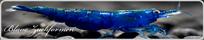 Blaue Neocaridina Zwerggarnelen
