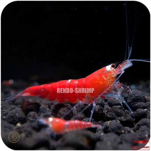 Super Crystal Red Garnele
