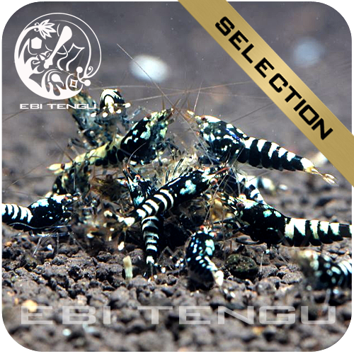 EBITENGU Taiwan Bee Black Galaxy Pinto