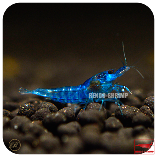 20x Blue Dream Garnelen / Blue Velvet Garnelen