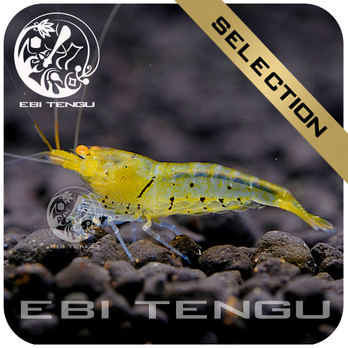 EBITENGU Lemon Tiger Golden Eyes