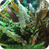 Cryptocoryne undulatus 'Red' In Vitro
