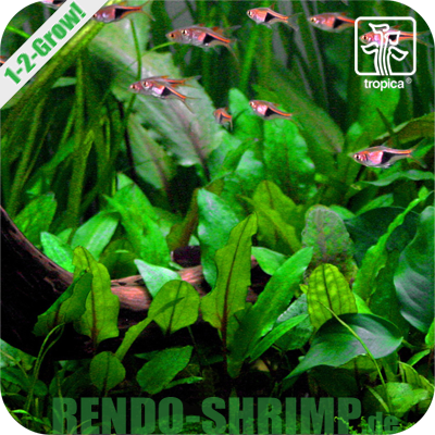 Cryptocoryne wendtii 'Green' In Vitro