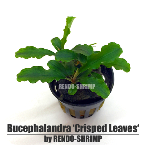 Bucephalandra 'Crisped Leaves'