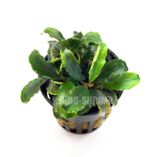 Bucephalandra theia 'Green'