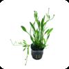 Grasartiger Zwerg-Froschlöffel / Grasartige Zwerg-Schwertpflanze / Echinodorus tenellus / Helanthium tenellum 'parvulum'