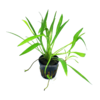 Xingú-Zwerg-Froschlöffel / Xingú-Zwerg-Schwertpflanze / Echinodorus xinguensis / Helanthium bolivianum 'quadricostatus var. xinguensis'