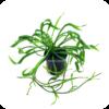 Korkenzieher-Froschlöffel / Korkenzieher-Schwertpflanze / Echinodorus 'Vesuvius' / Helanthium bolivianum 'Vesuvius'