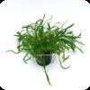Neuseelandgras / Neuseeland-Graspflanze / Lilaeopsis novae-zelandiae
