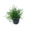Mauritiusgras / Mauritius-Graspflanze / Lilaeopsis mauritiana / Lilaeopsis mauritius