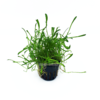 Carolinagras / Carolina-Graspflanze / Lilaeopsis caroliniensis