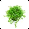 Micranthemum micranthemoides / Hemianthus micranthemoides / Zierliches Perlkraut / Hemianthus glomeratus