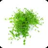 Micranthemum umbrosum / Micranthemum orbiculatum / Rundblättriges Perlenkraut / Perlenkraut