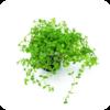 Micranthemum tweediei 'Monte Carlo' / Tweedies Perlenkraut / Montecarlo-Perlkraut / Bacopita