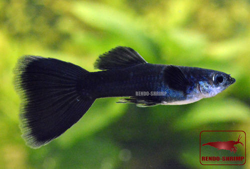 Guppy Pärchen 'Full Black' (Poecilia reticulata)