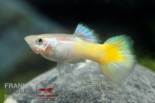 Guppy Pärchen 'Full Gold' (Poecilia reticulata)